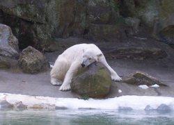 Polar_bear_small